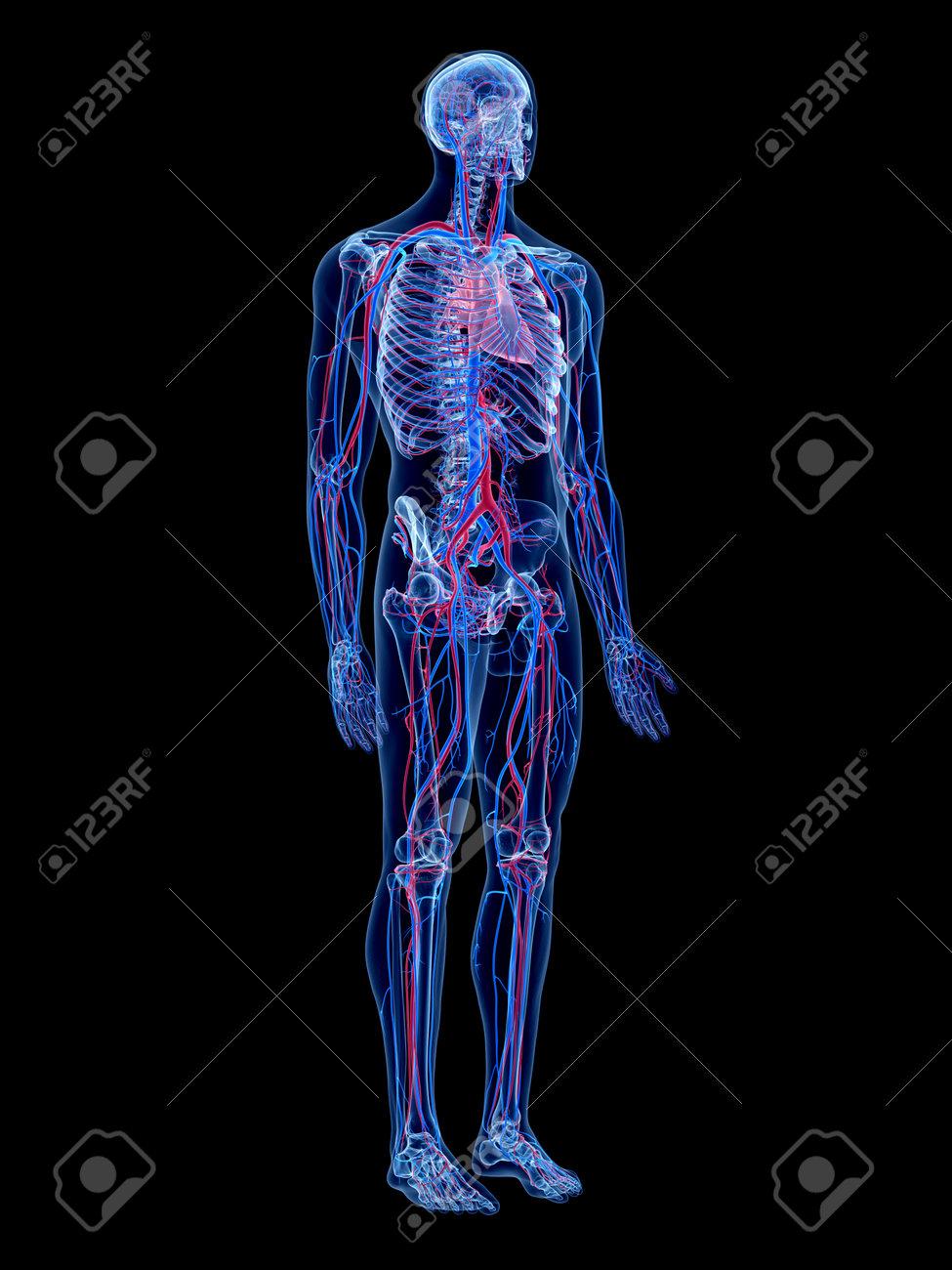 Das Menschliche Gefäßsystem Lizenzfreie Fotos, Bilder Und Stock ...