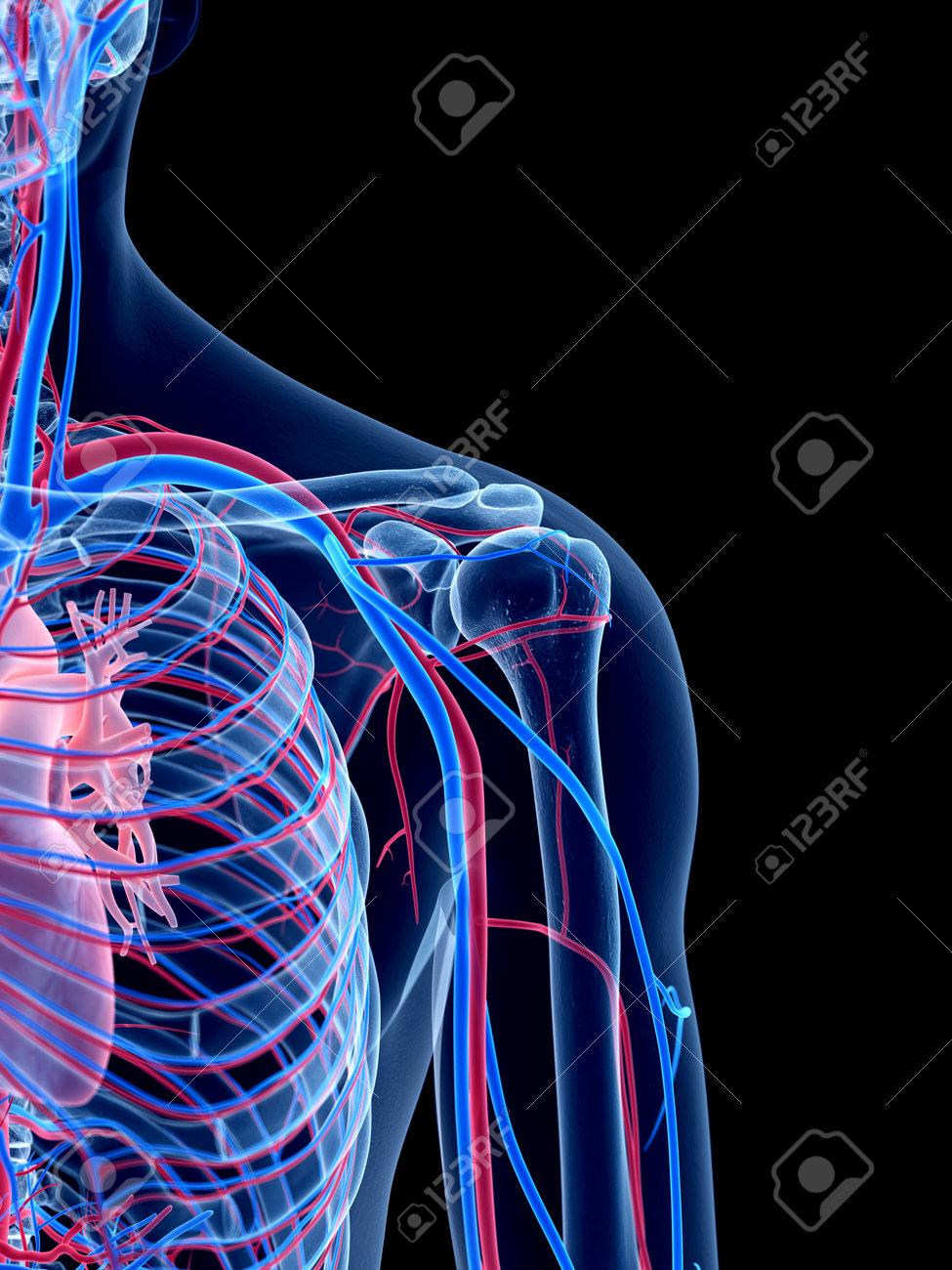 Das Menschliche Gefäßsystem - Die Schulter Lizenzfreie Fotos, Bilder ...