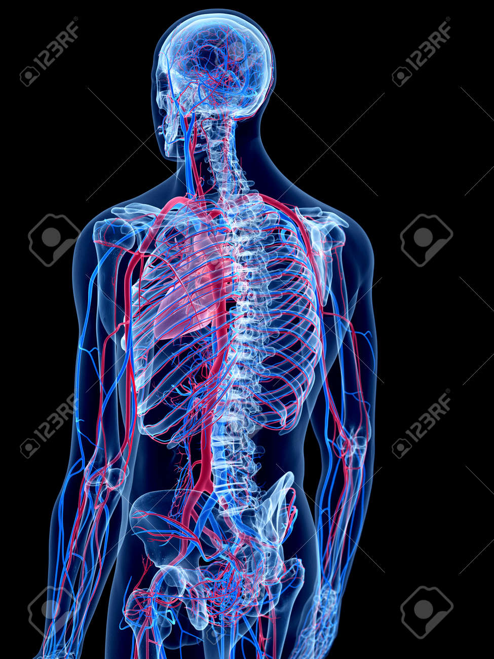 The Human Vascular System Stock Photo Picture And Royalty Free
