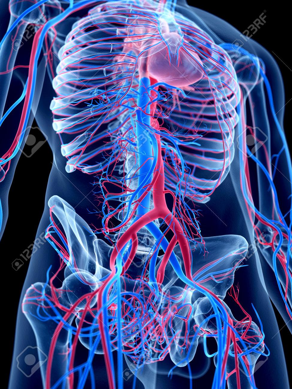 Das Menschliche Gefäßsystem - Das Abdomen Lizenzfreie Fotos, Bilder ...