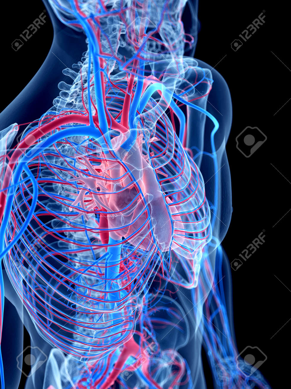 The Human Vascular System The Thorax Stock Photo Picture And
