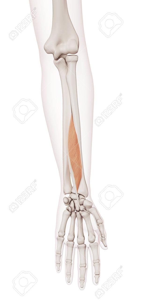 Ilustración Muscular Médicamente Exacta Del Flexor Largo Del Pulgar ...