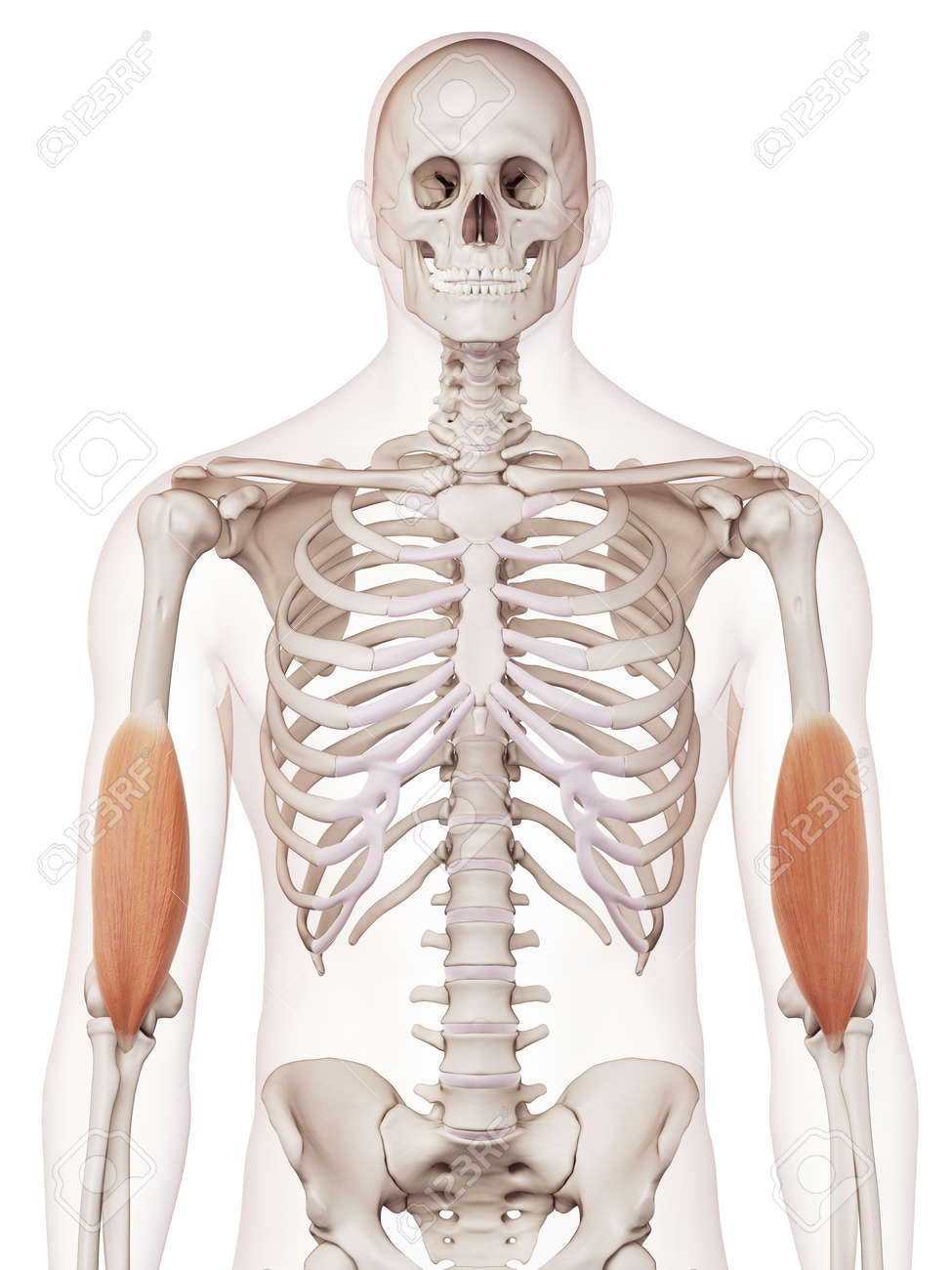 Medically Accurate Muscle Illustration Of The Brachialis Stock Photo ...