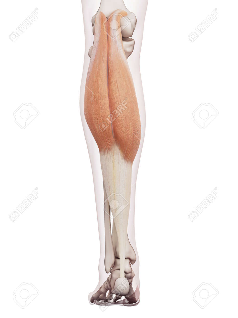 Medically Accurate Muscle Illustration Of The Gastrocnemius Stock ...