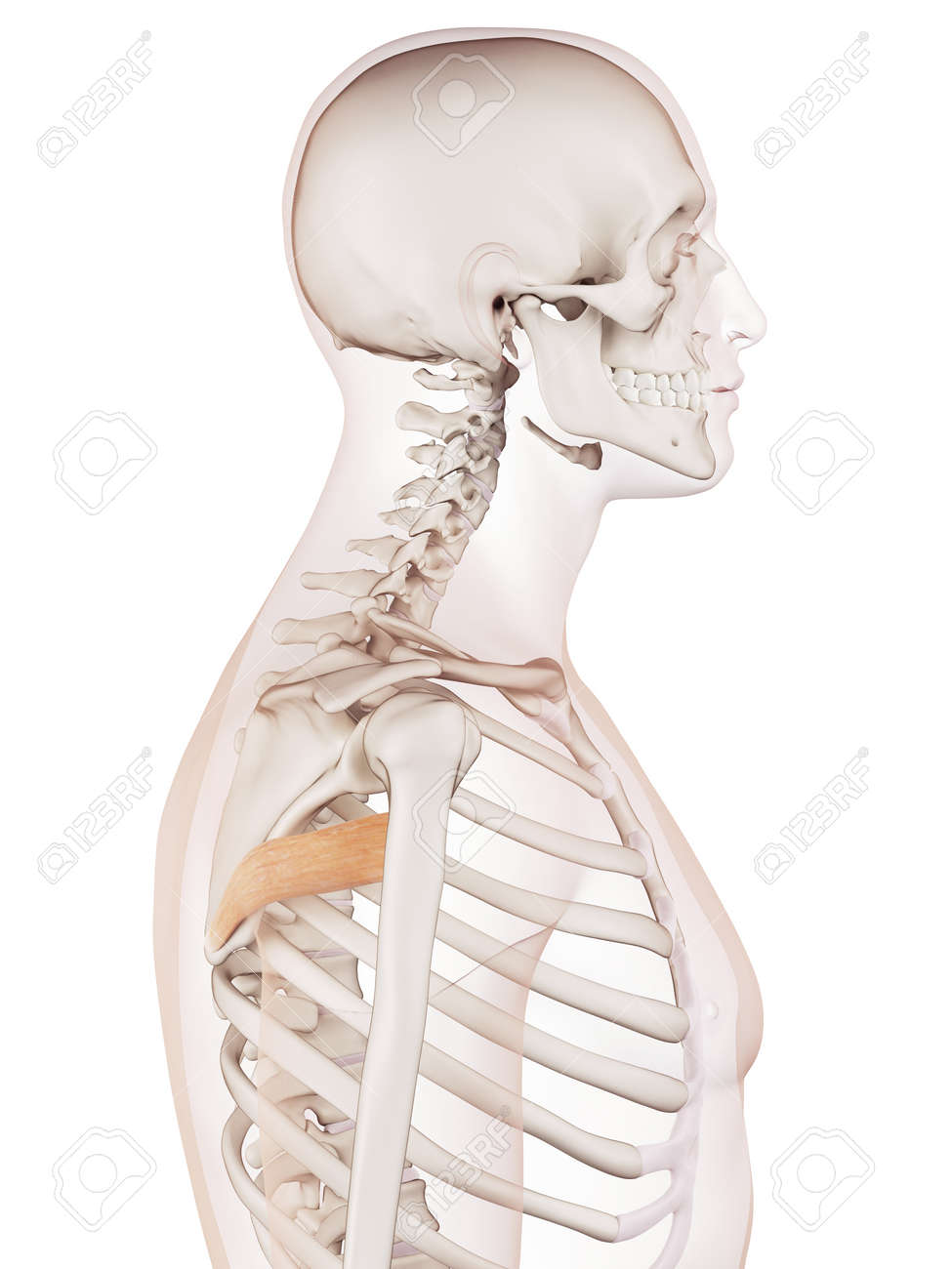 Medically Accurate Muscle Illustration Of The Teres Major Stock ...
