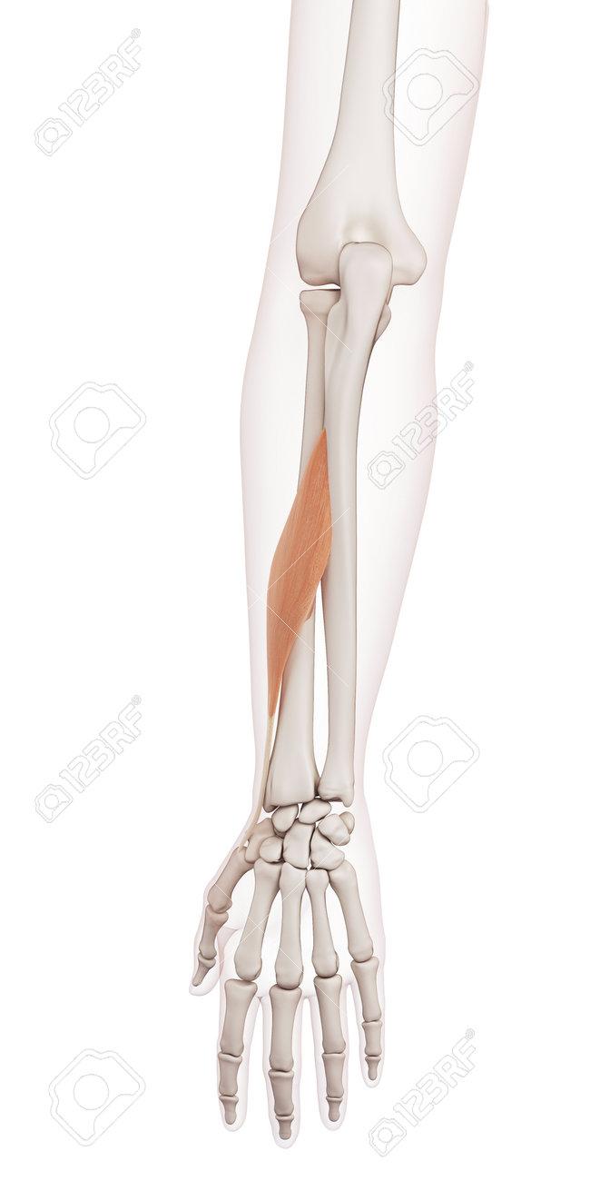 Ilustración Muscular Médicamente Exacta Del Abductor Largo Del ...