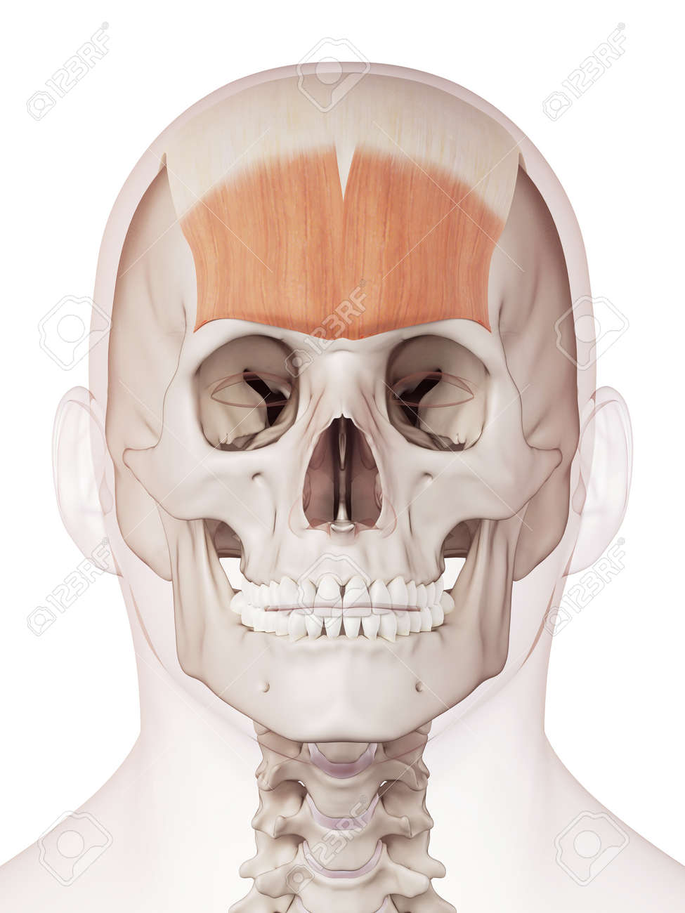 medically accurate muscle illustration of the frontalis stock photo