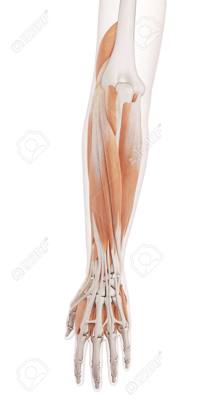 Medically Accurate Muscle Illustration Of The Lower Arm Muscles ...