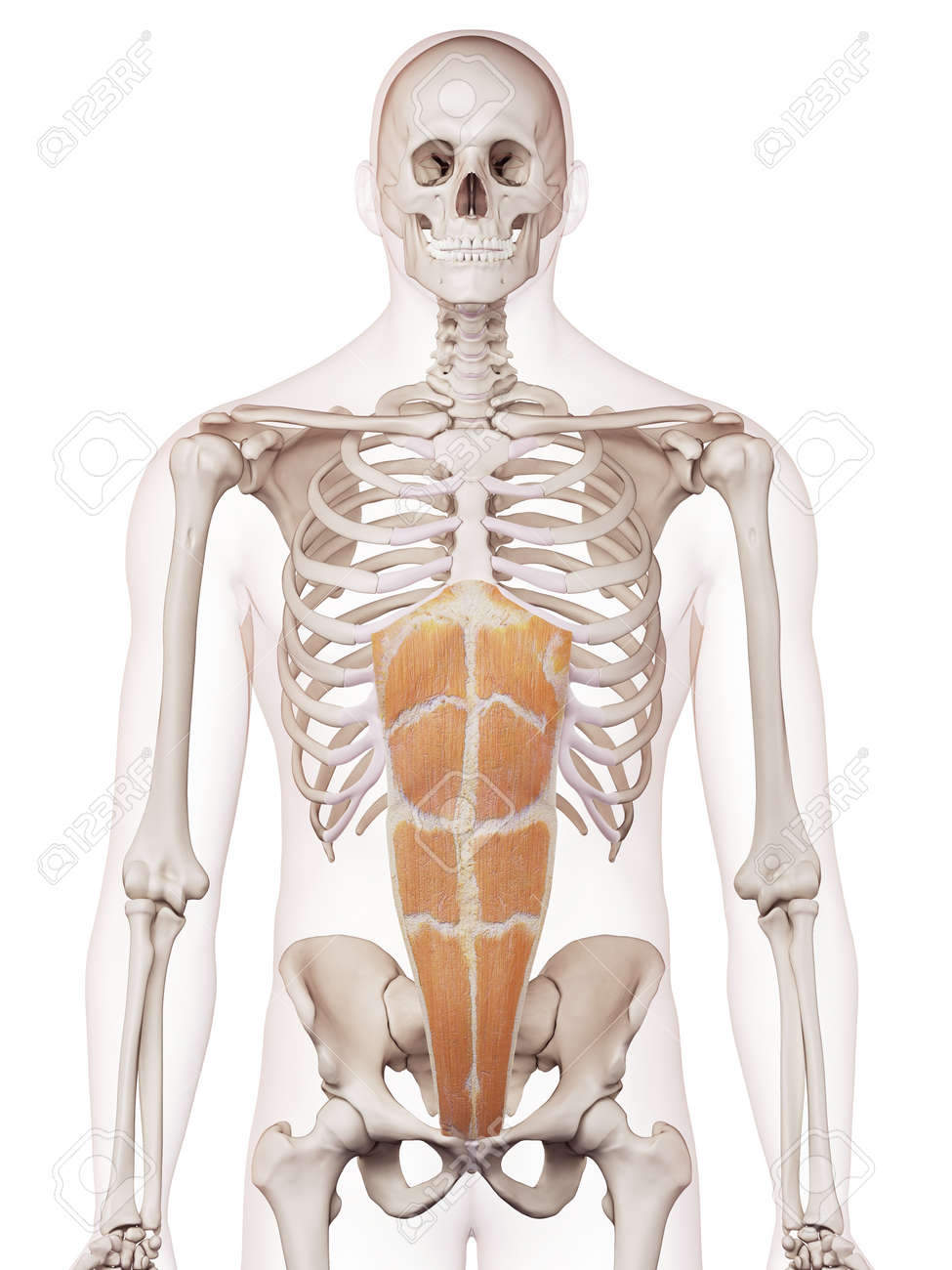 Medically Accurate Muscle Illustration Of The Rectus Abdominis Stock ...