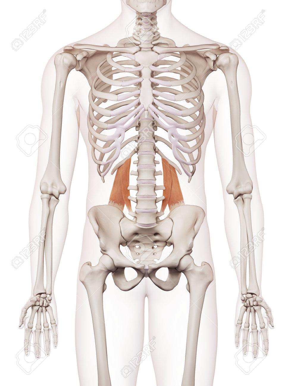 Medically Accurate Muscle Illustration Of The Quadratus Lumborum ...