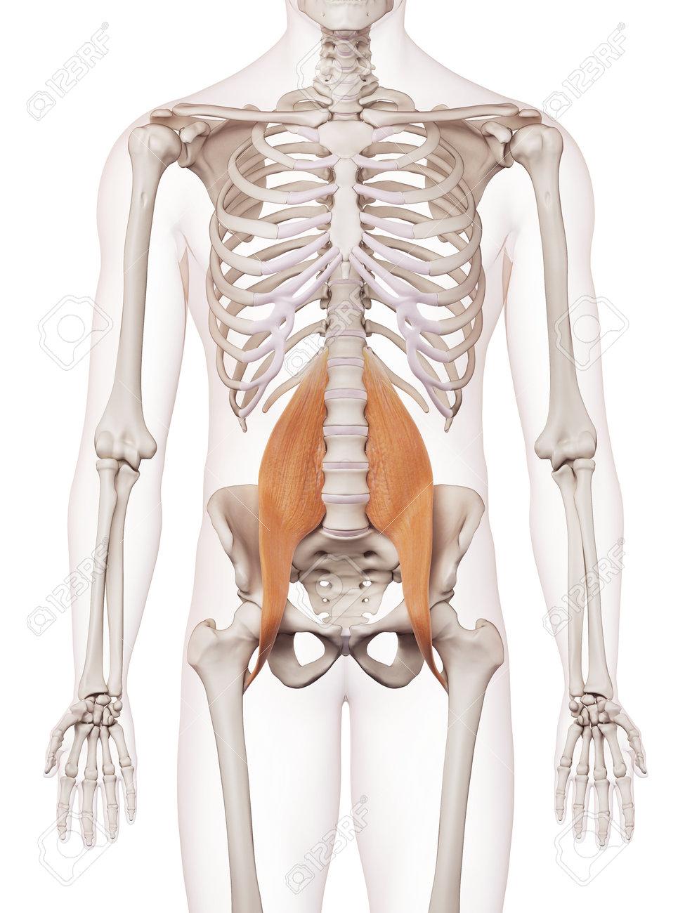 Ilustración Muscular Médicamente Exacta Del Psoas Fotos, Retratos ...