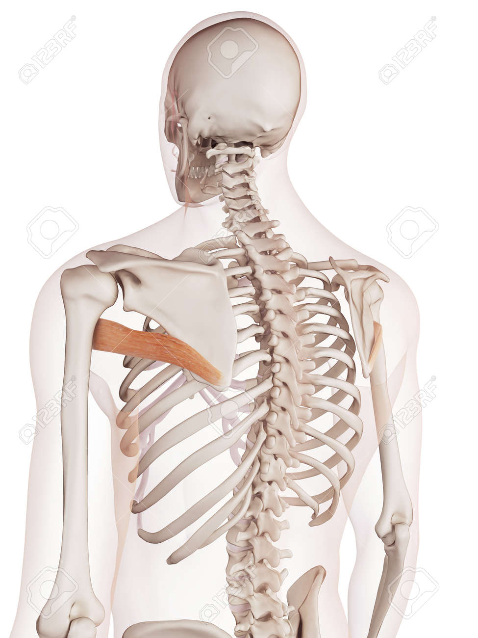Medically Accurate Muscle Illustration Of The Teres Major Stock