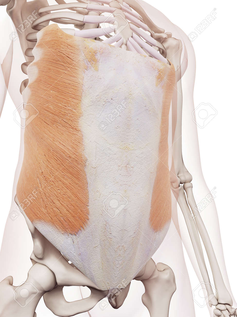 Medizinisch Genaue Muskel Darstellung Der äußeren Schrägen ...