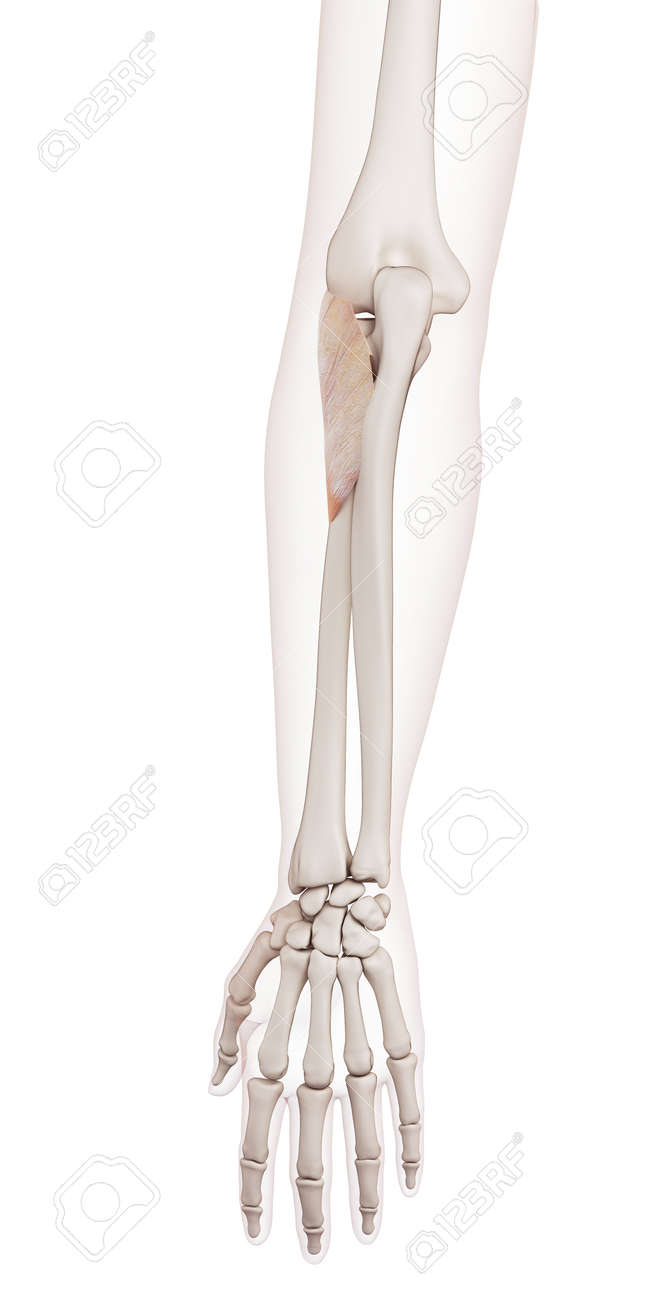 Medically Accurate Muscle Illustration Of The Supinator Stock Photo ...