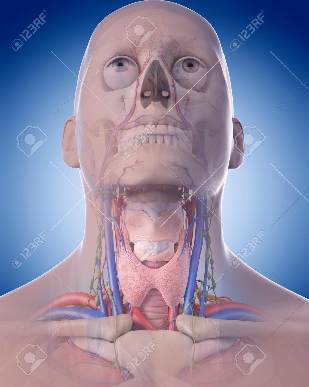Ilustración Médica Precisa De La Anatomía Del Cuello Fotos, Retratos ...