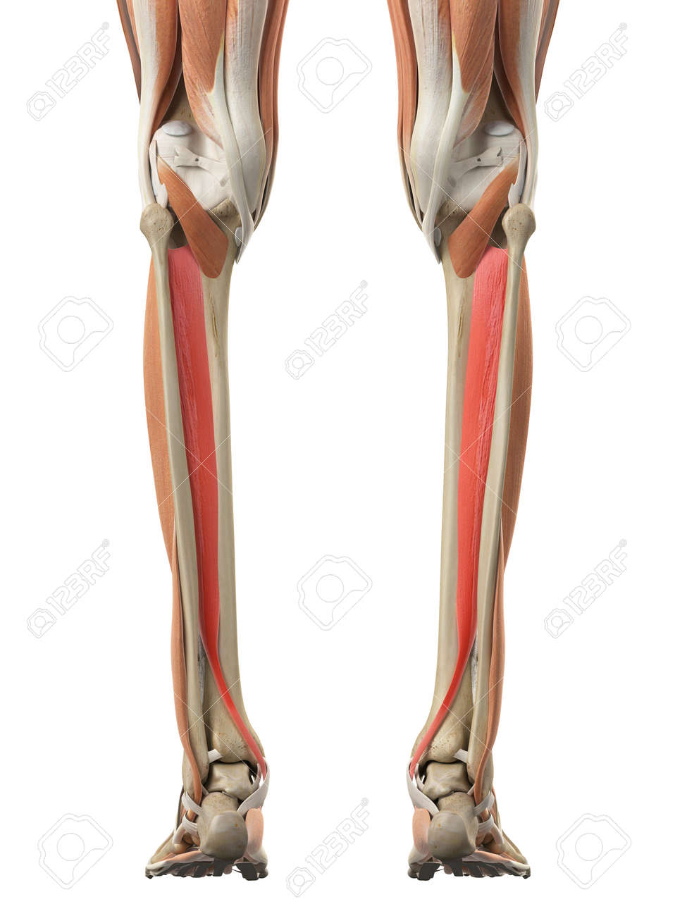 Medically Accurate Illustration Of The Tibialis Posterior Stock ...