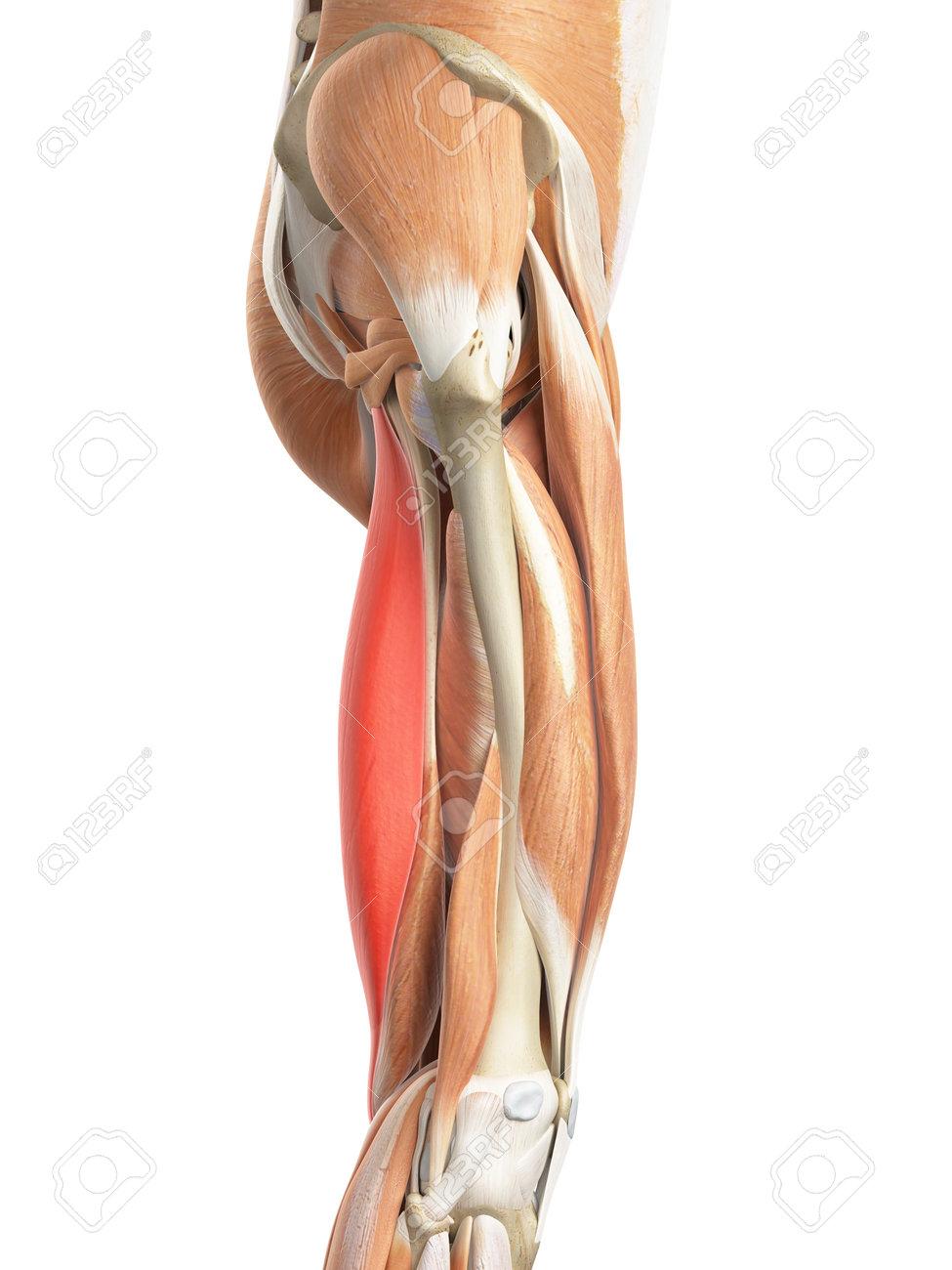 Medically Accurate Illustration Of The Semitendinosus Stock Photo ...