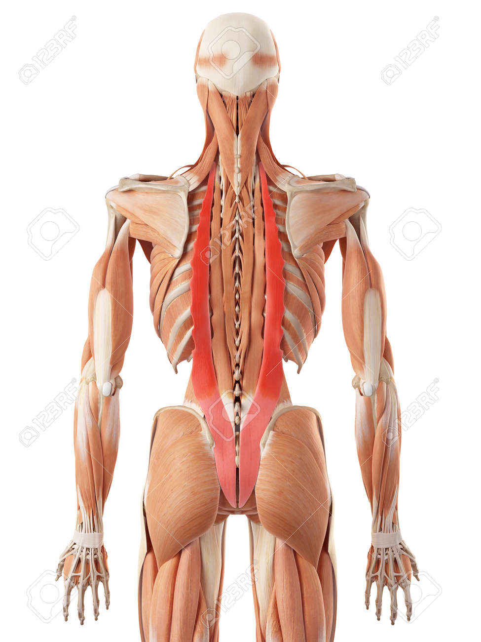 medically accurate illustration of the iliocostalis stock photo