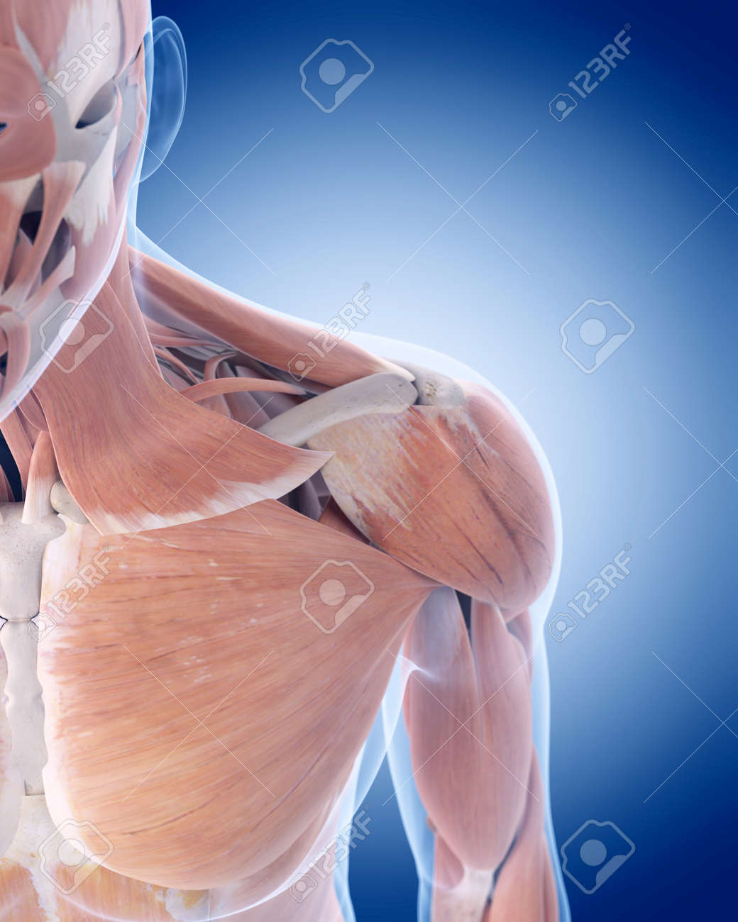 Medically Accurate Illustration Of The Anterior Shoulder Muscles ...