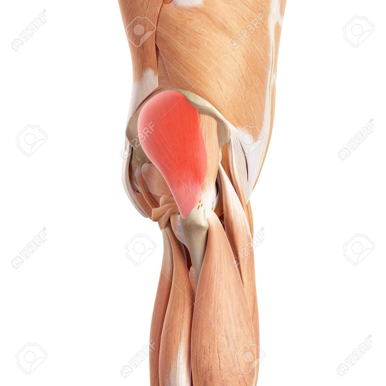 Excepcional Anatomía Nalgas Muscular Fotos - Anatomía de Las ...