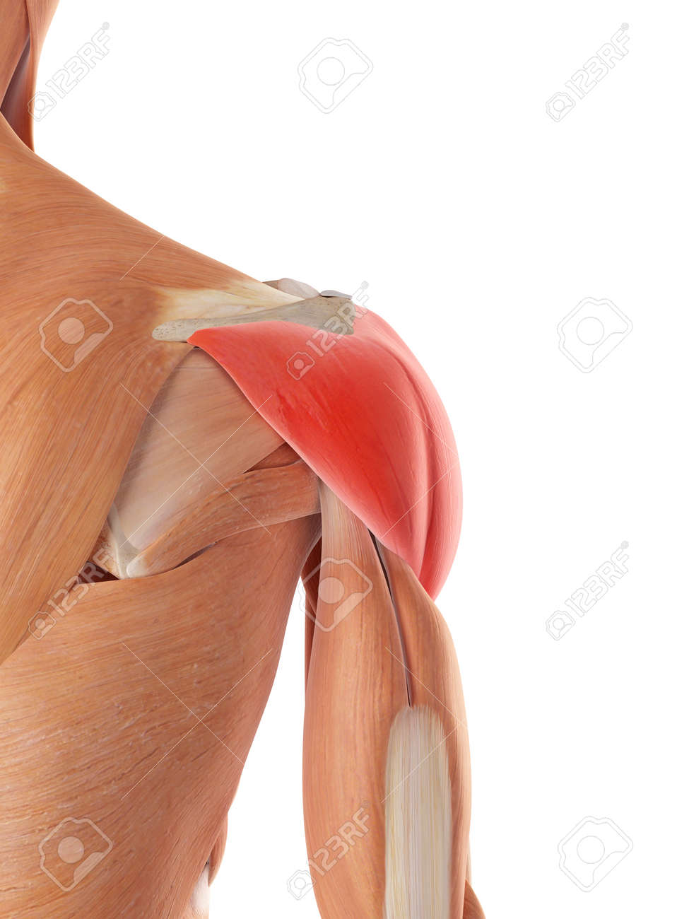 Medically Accurate Illustration Of The Deltoid Muscle Stock Photo ...