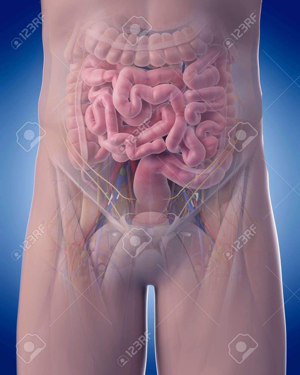 Medically Accurate Illustration Of Abdominal Anatomy Stock Photo ...
