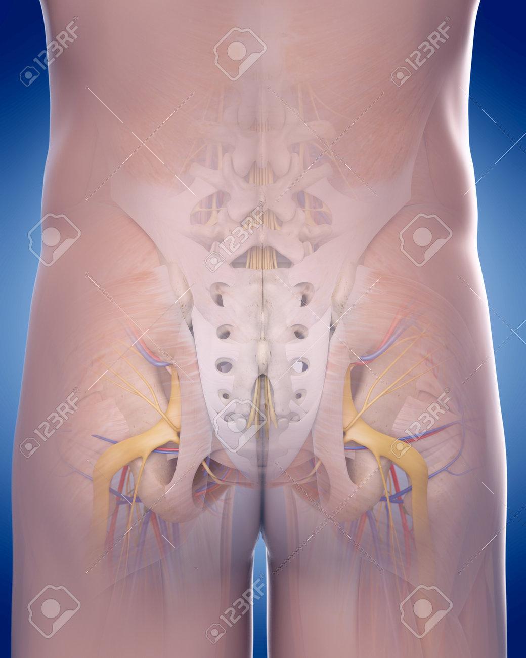 Dorable Anatomía Para La Reproducción Principiantes Colección de ...