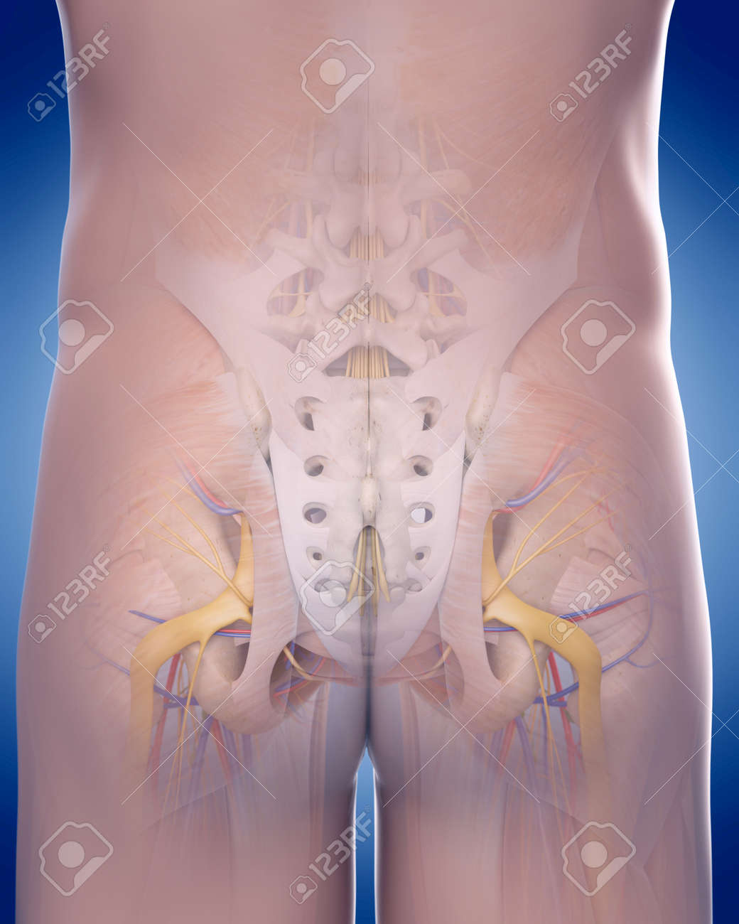 Medically Accurate Illustration Of The Posterior Pelvic Anatomy ...