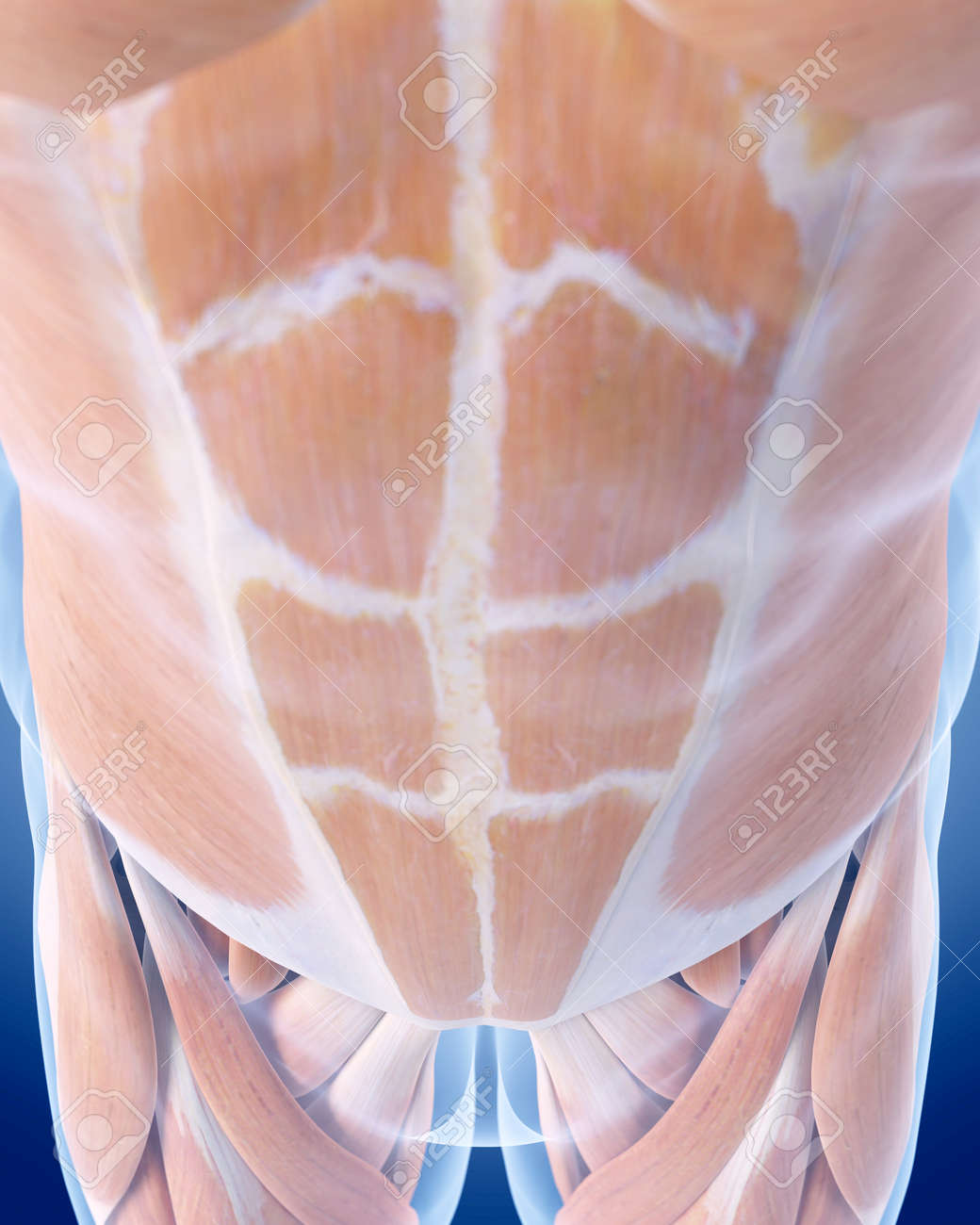 Medically Accurate Illustration Of The Abdominal Muscles Stock Photo