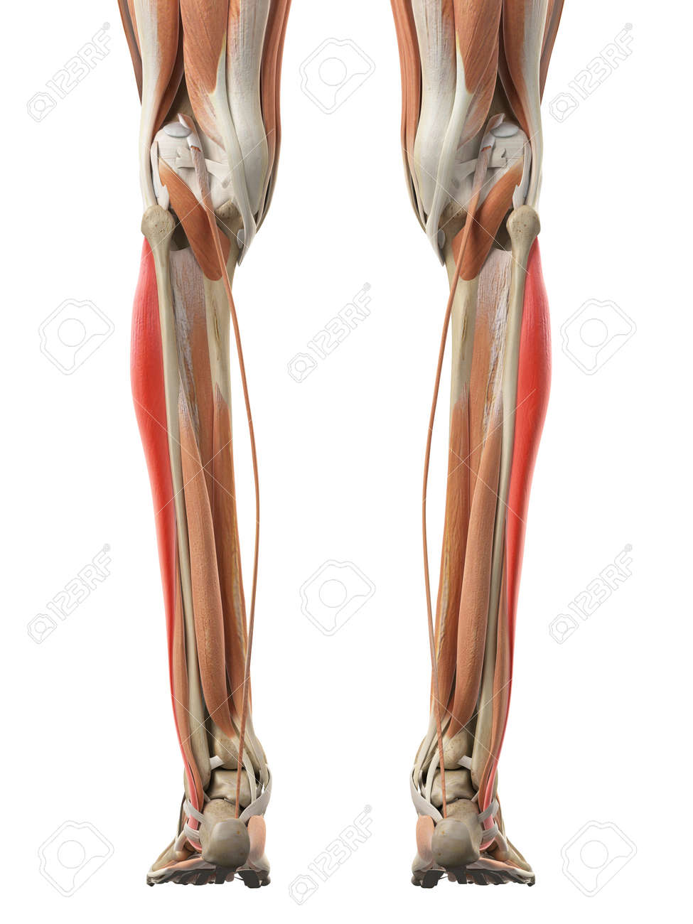 Medically Accurate Illustration Of The Peroneus Longus Stock Photo