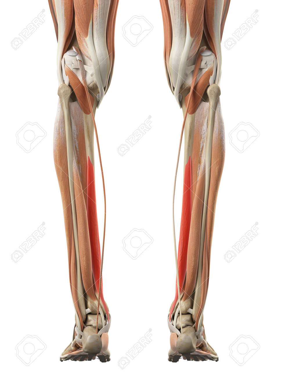 Medically Accurate Illustration Of The Flexor Digitorum Longus Stock