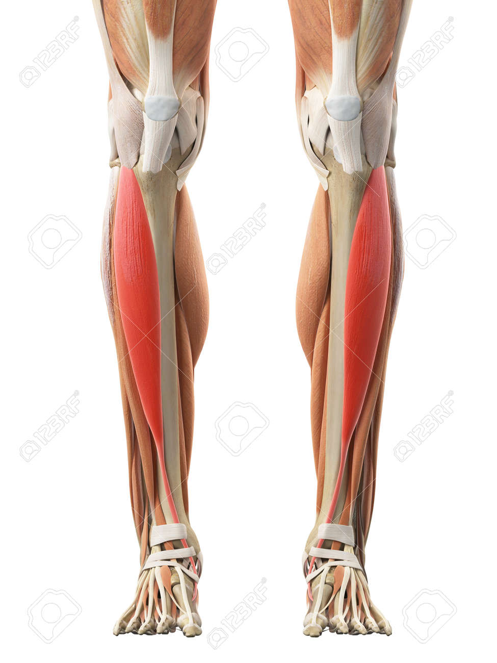 Medically Accurate Illustration Of The Tibialis Anterior Stock Photo ...
