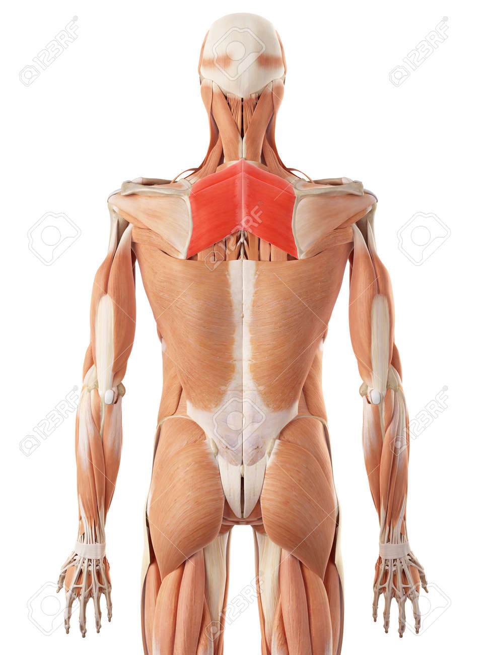 medically accurate illustration of the rhomboid stock photo picture