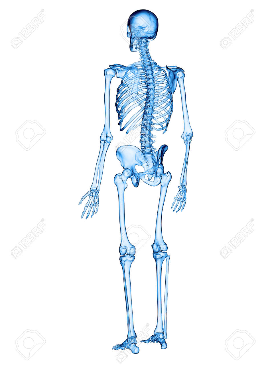 Accurate Medical Illustration Of The Human Skeleton Stock Photo