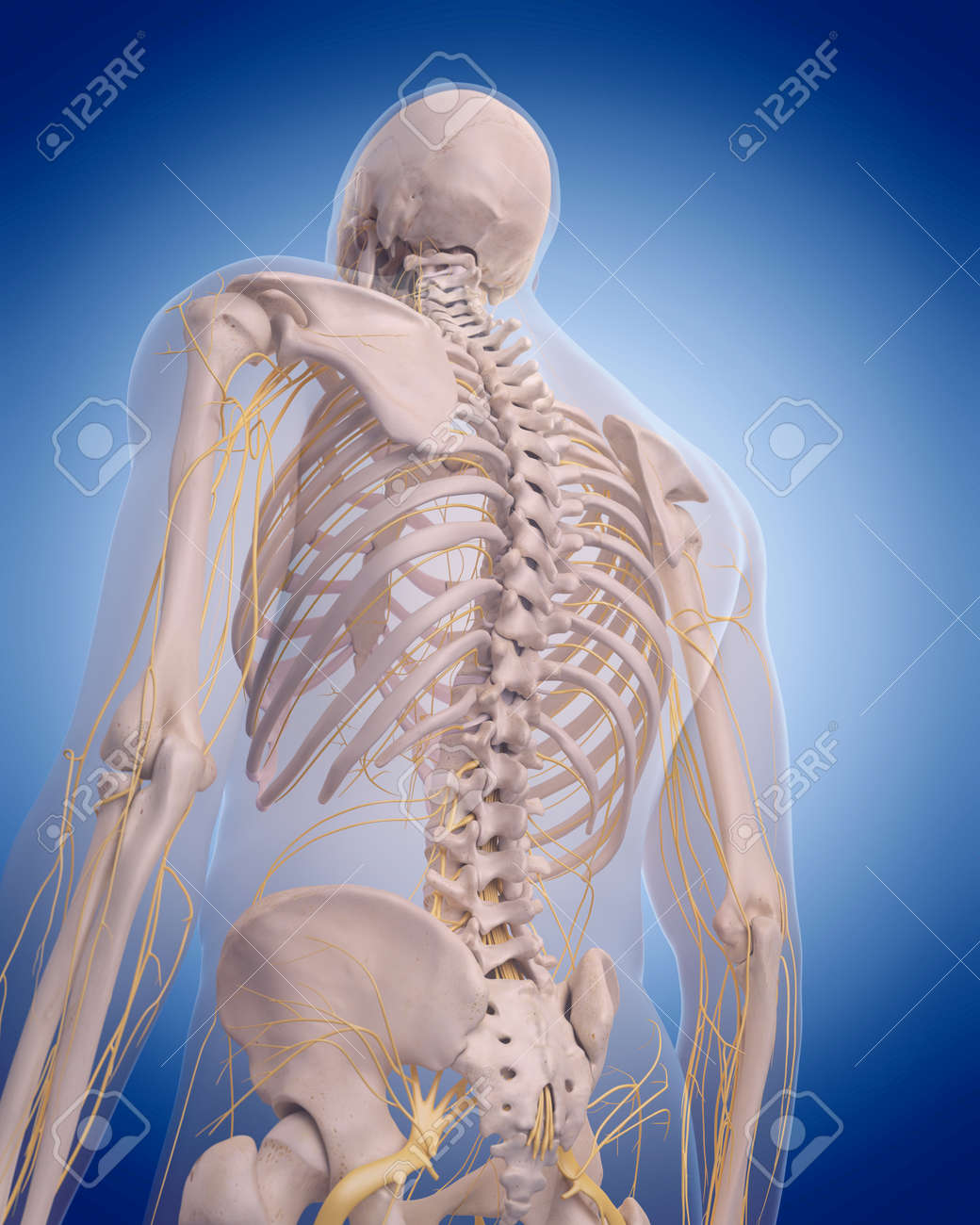 Medically Accurate Illustration Nerves Of The Back Stock Photo
