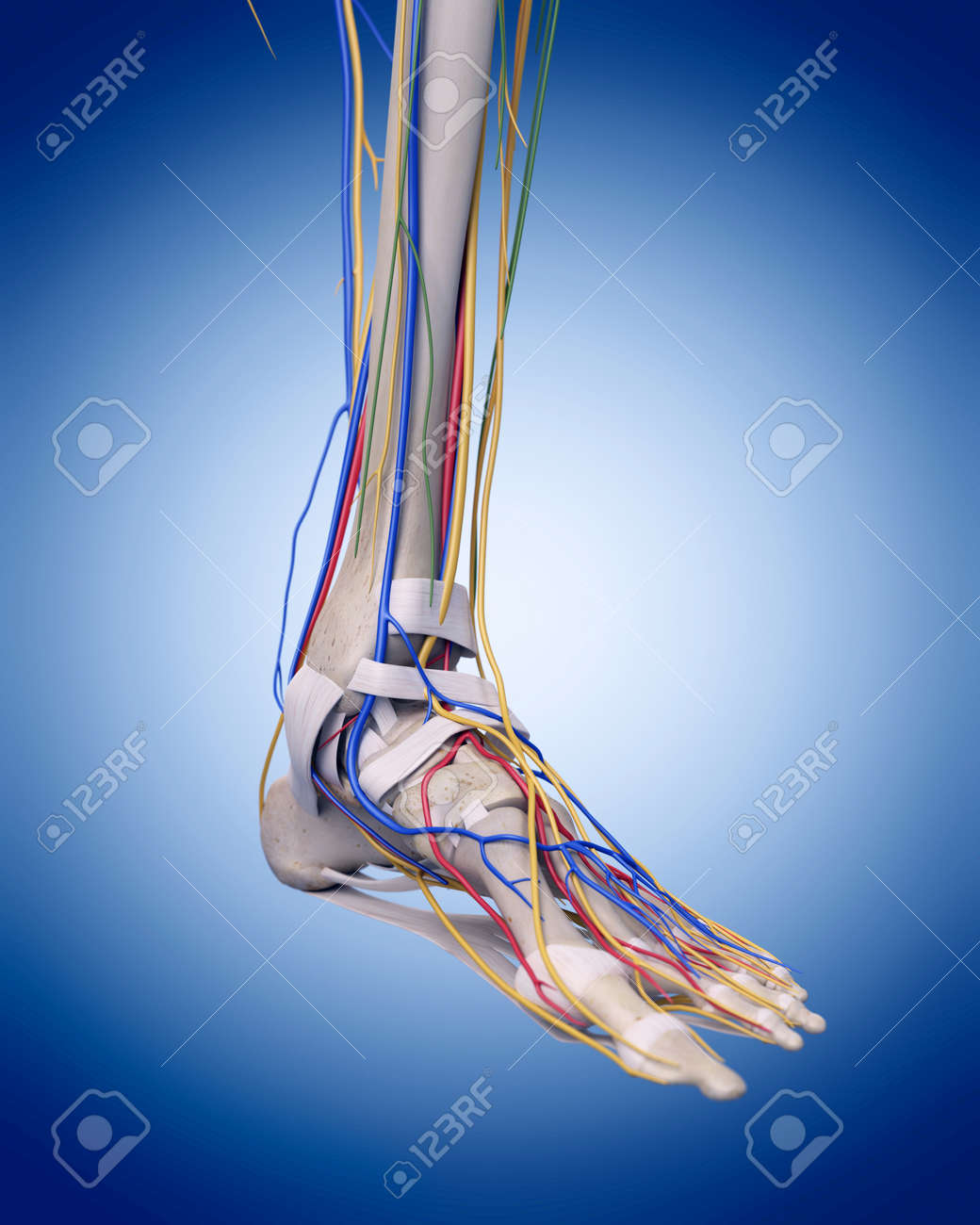 Medically Accurate Illustration Of The Foot Anatomy Stock Photo