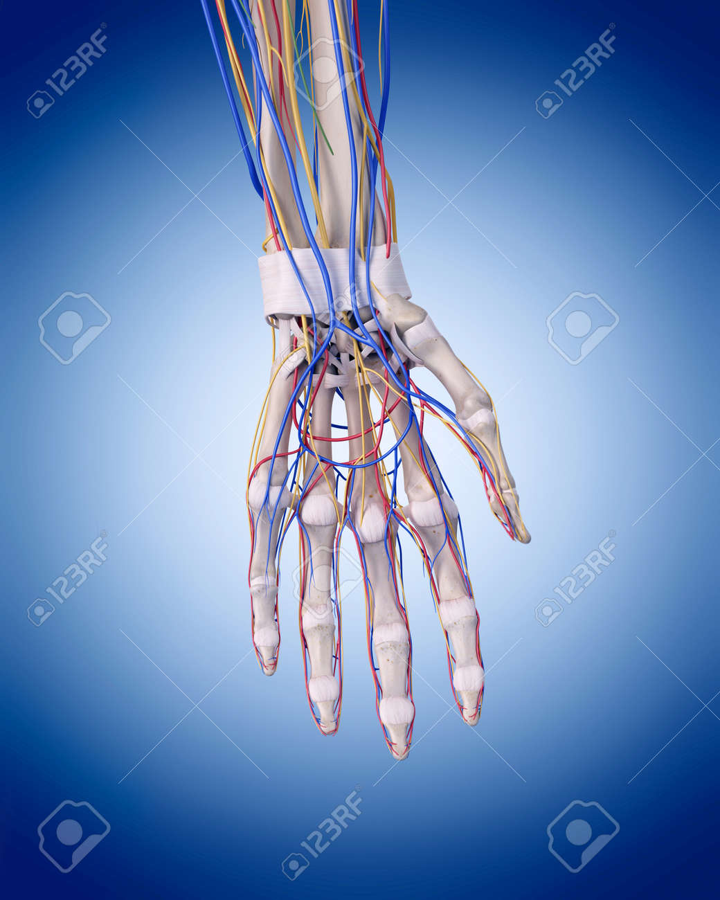 Medically Accurate Illustration Of The Hand Anatomy Stock Photo ...