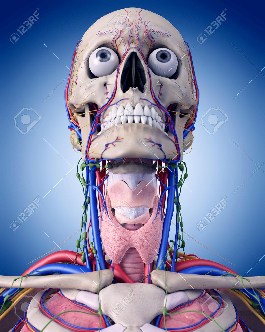 Ilustración Médica Precisa De La Anatomía De Garganta Fotos ...