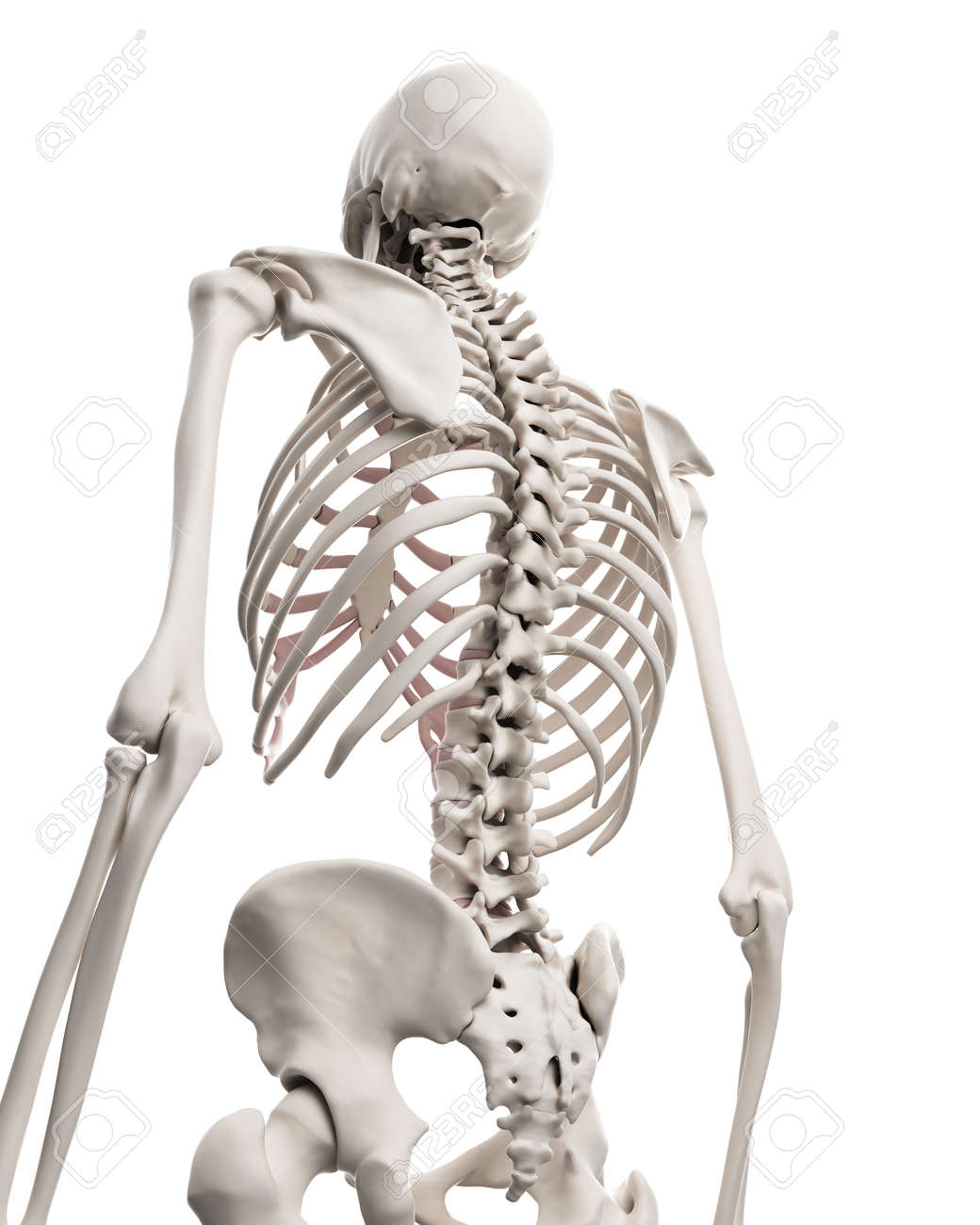 Medically Accurate Illustration Of The Skeletal System - The.. Stock ...