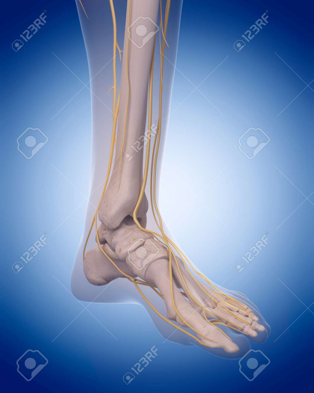Medizinisch Genaue Illustration - Nerven Des Fußes Lizenzfreie Fotos ...