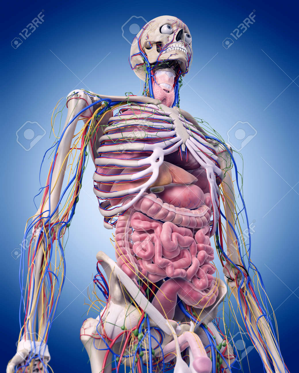 Human Anatomy Stock Photos Royalty Free Human Anatomy Images