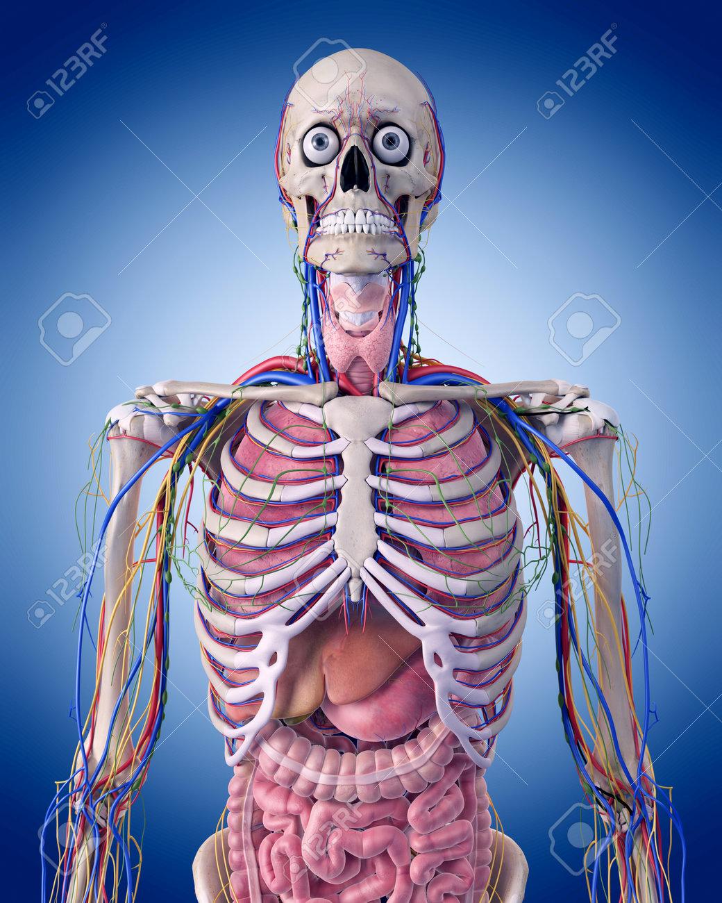 Illustration Médicale Précise De L\'anatomie Du Thorax Banque D ...