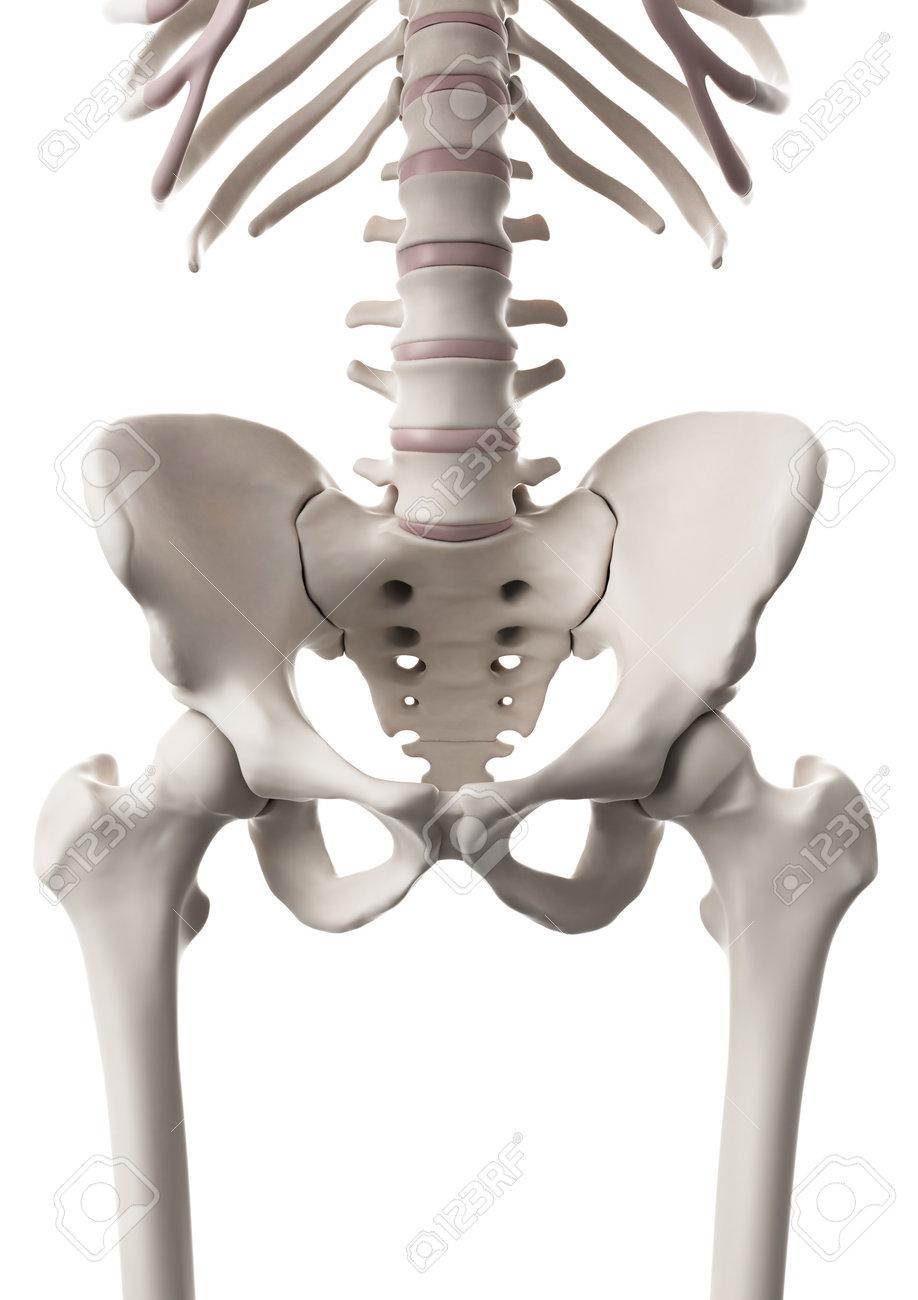 Medizinisch Genaue Darstellung Des Skelettsystems - Der Hüfte Und ...