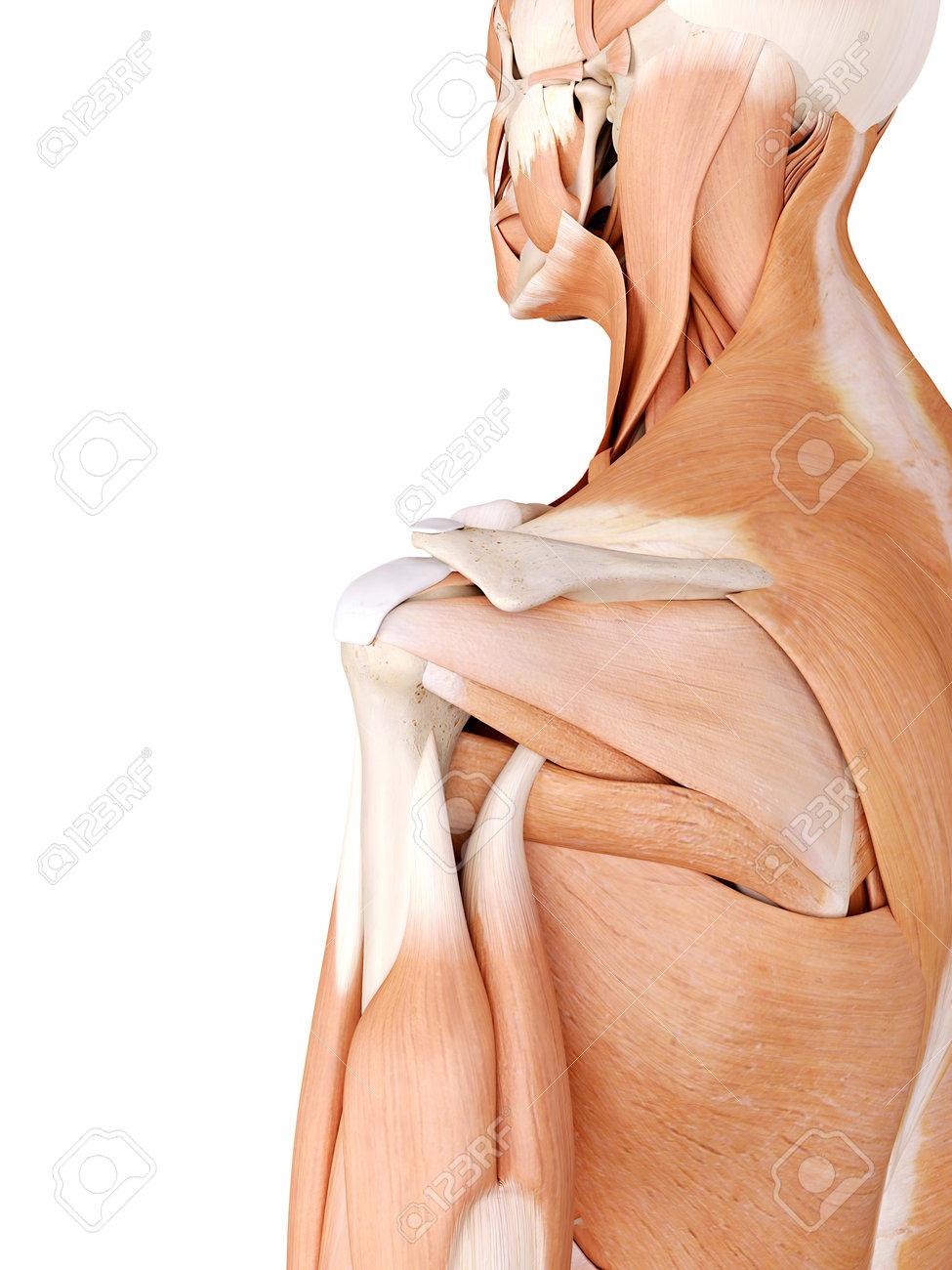 Ilustración De La Anatomía Médicamente Correcta - Músculos Del ...