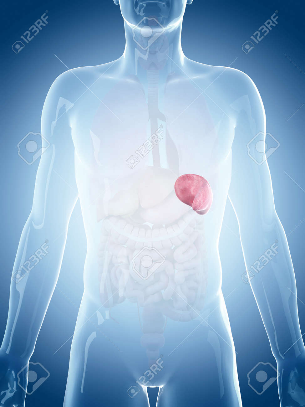 medically accurate illustration of the spleen Stock Illustration - 45345431