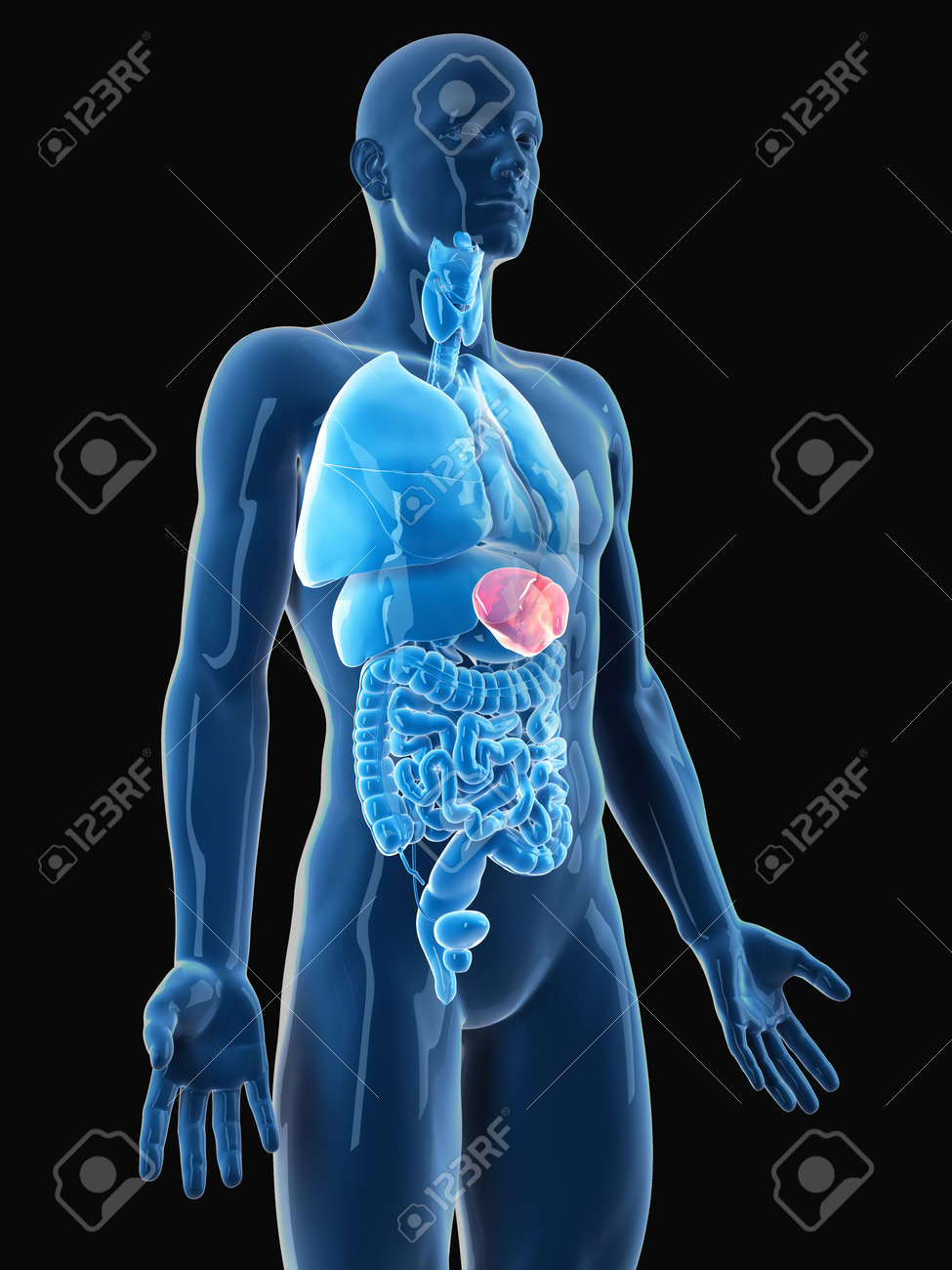 medically accurate illustration of the spleen Stock Illustration - 45345441