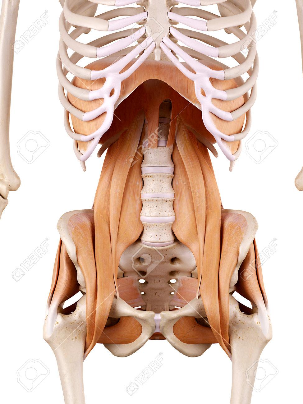 Ilustración De La Anatomía Médicamente Correcta - Músculos De La ...