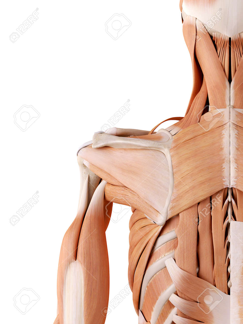 Medically Accurate Anatomy Illustration - Shoulder Muscles Stock ...