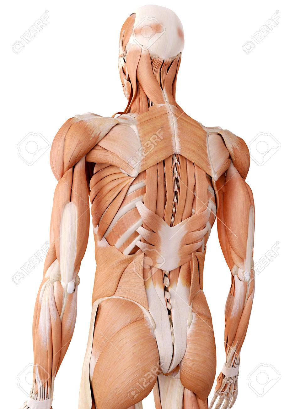 Medizinisch Genaue Anatomie Illustration - Rückenmuskulatur ...