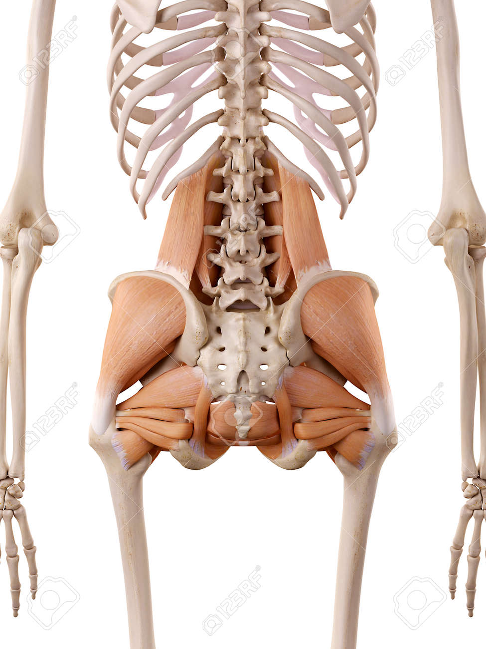 Medically Accurate Anatomy Illustration Hip Muscles Stock Photo